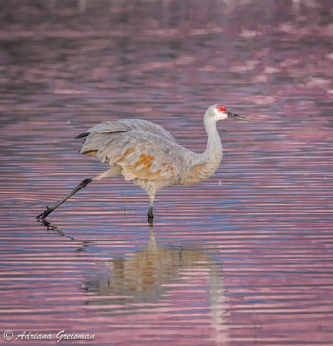 Sandhill-Crane-Sunrise-Reflections-bird-