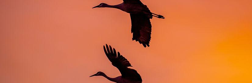 Sandhill-Crane-flight-Sunset-bird-bosque