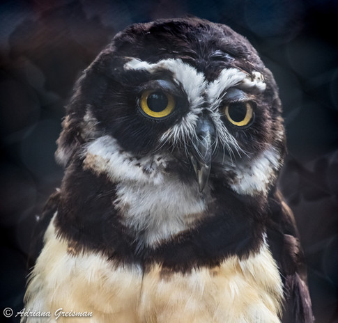Spectacled-Owl-bird.jpg