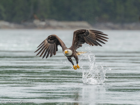 Eagle-flight-fishing-bird.jpg