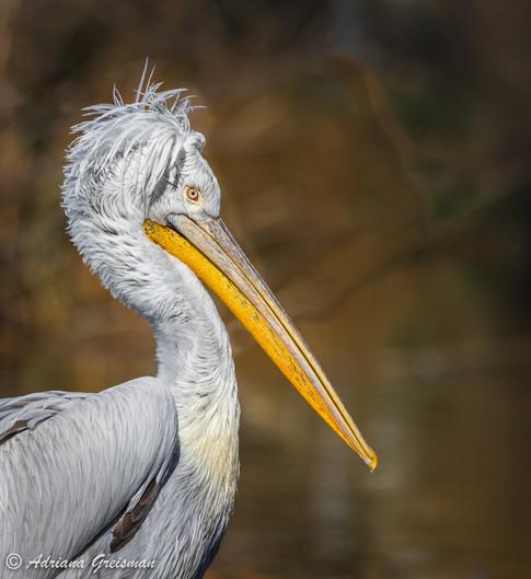 White-Pelican-juvenile-bird.jpg