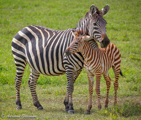 Zebra-newborn-Motherly-Love-Wildlife-Afr