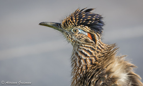 Roadrunner-bird-arizona.jpg