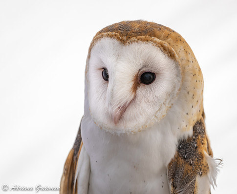 Barn-Owl-bird.jpg