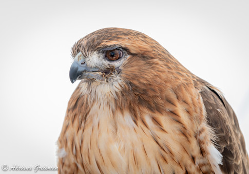 Red-Tailed-Hawk-bird.jpg