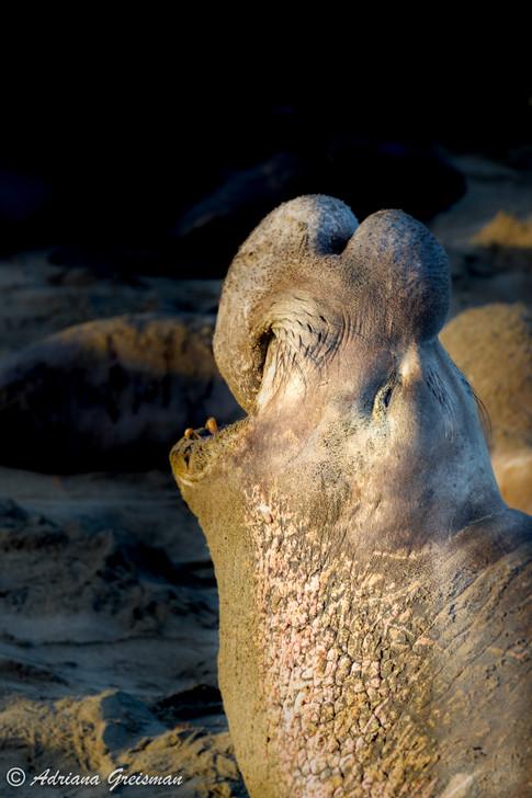 Elephant-Seal-male-piedras-blancas-calif