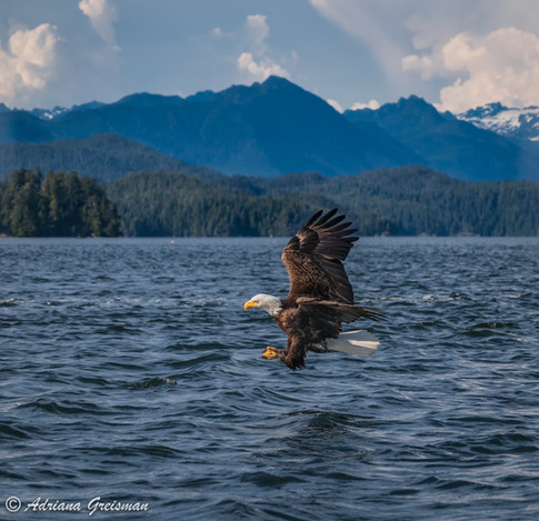 Eagle-flight-fish-Tofino-british-columbi
