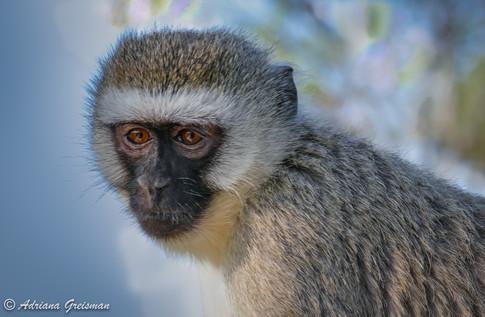 Vervet-Monkey-africa-tanzania-serengeti-