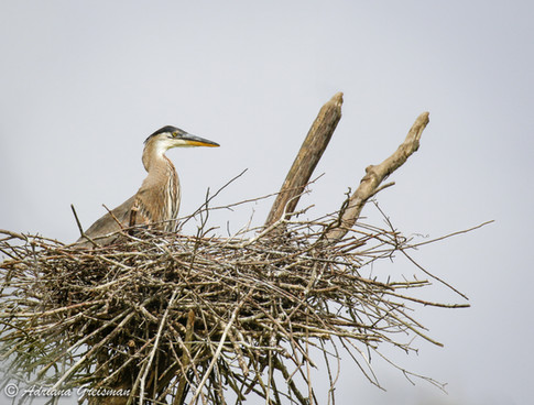 Heron-Nest-Rookery-bird.jpg