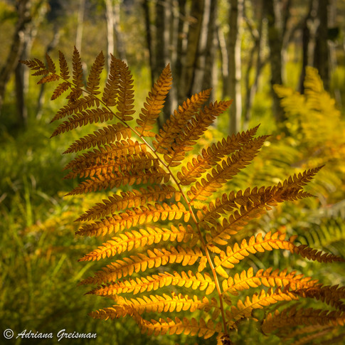 Fern-Autumn-Color-Forest-Glow.jpg