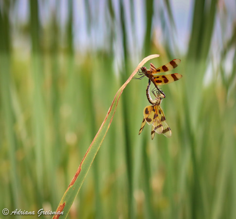 Dragonfly-mating-illinois-insect-bug-Lov