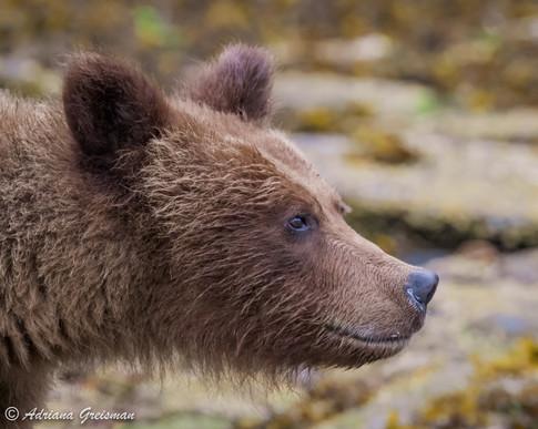 Grizzly-bear-wildlife-khutzeymateen-brit