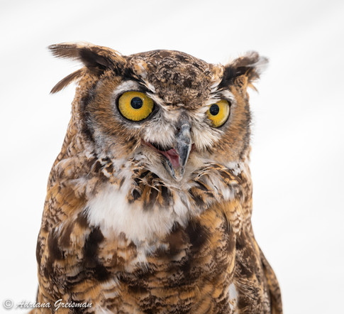 Great-Horned-Owl-bird.jpg