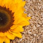 Hạt-hướng-dương_sunflower-seeds.jpg