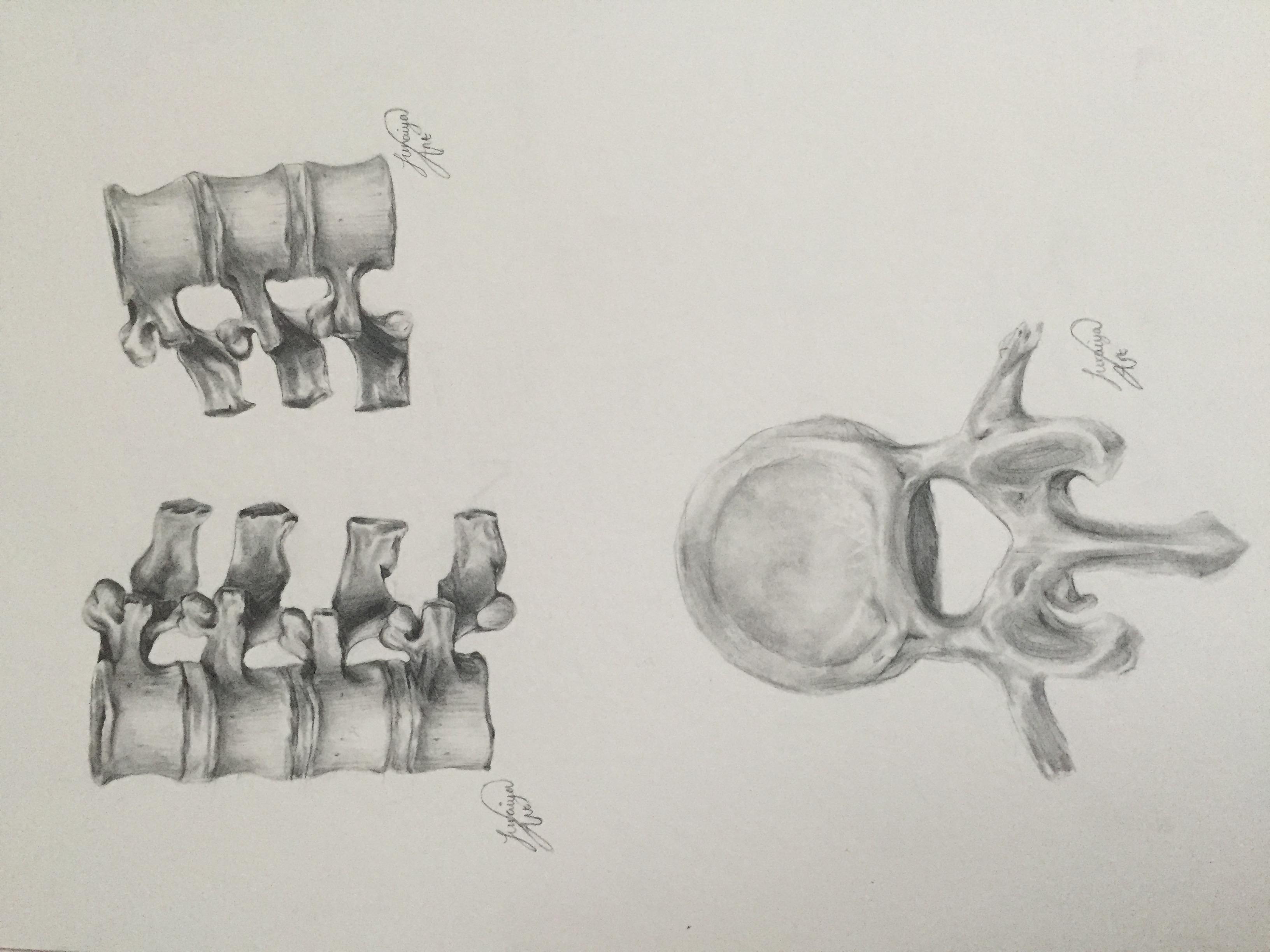 Anatomical Illustration for Journal