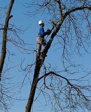 Tree takedown.jpg