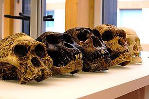 Five skulls of human ancestors. From lef