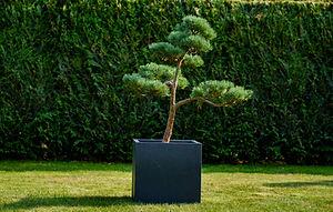 střední tvarovaná borovice