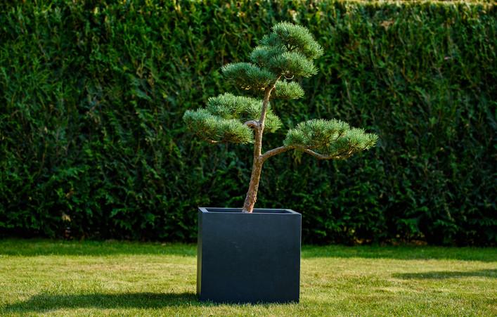 Střední borovice