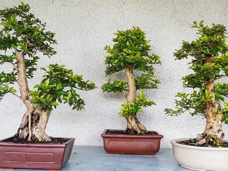 Nově v sortimentu pokojové bonsaje - Duranta erecta Aurea