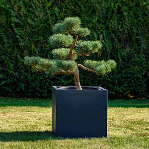 tvarovaná borovice malá