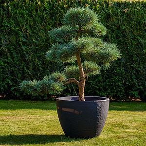 velká tvarovaná borovice