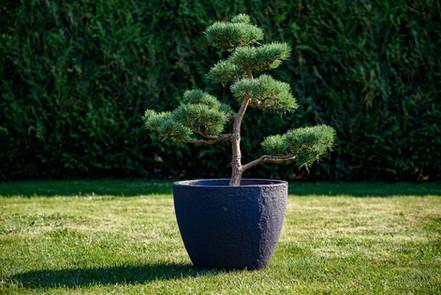 Velká tvarovaná borovice 120cm