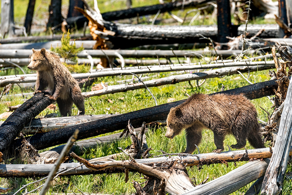 Two grizzly bears standing on burned down trees