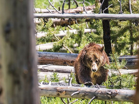 Photographing Grizzly Bears in Yellowstone