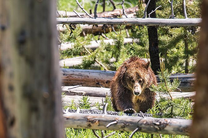 The grizzly bear mother quickly making her way towards the road