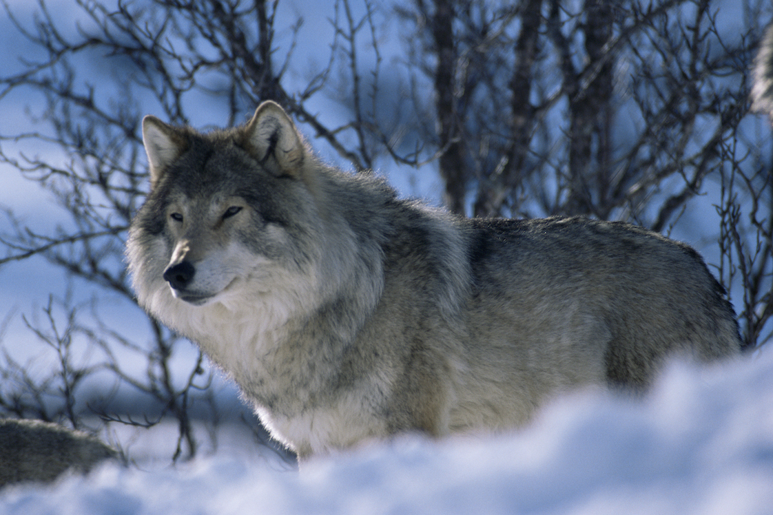 wolf in the snow.jpg