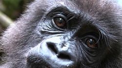 Gorilla School