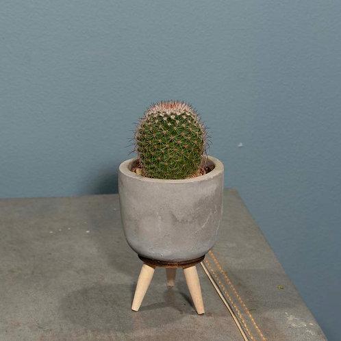 Mini Cactus in Cement Pot