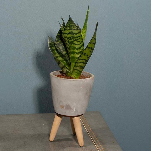 Snake Plant in Cement Pot