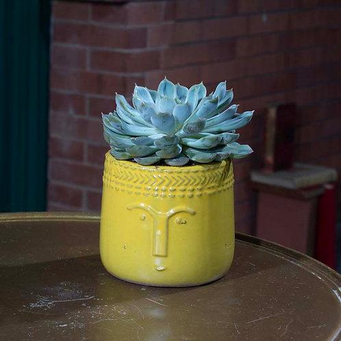Medium Succulent in Mustard Pot
