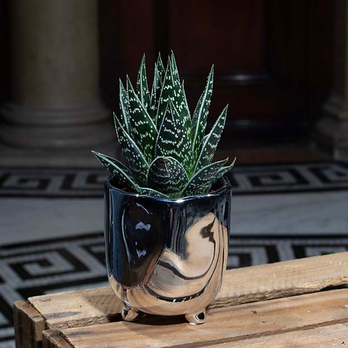 Aloe Tiki in Silver Pot