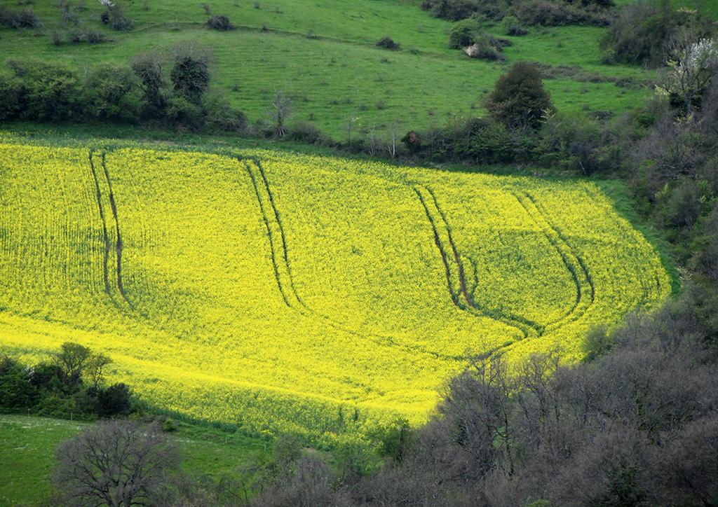 Yellow field, France.jpg