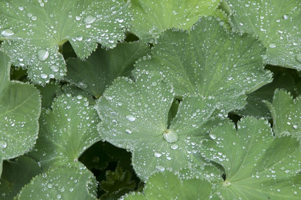 Nasturtium leaves.jpg