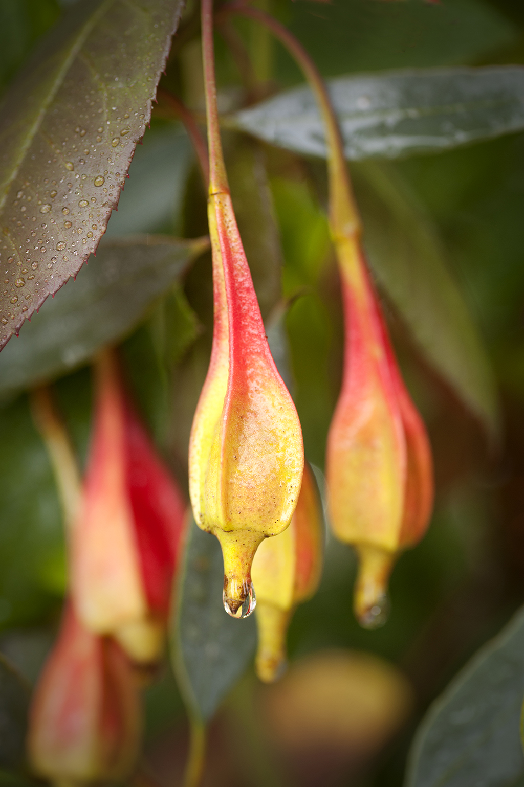 Eucayptus forestiana.jpg