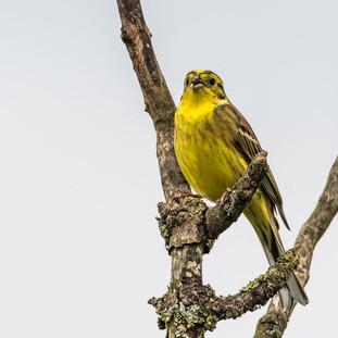 yellow hammer.jpg