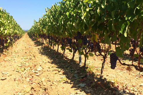 300 metre rakım. Papaskarası, Merlot, Sauvignon Blanc. Toprak yapısı kuvarz taşı smektit kil ve tebeşirleşmiş kireç.