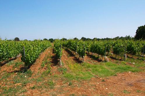 280 metre, Pinot Noir,Chardonnay, Papaskarası, Cabernet Sauvignon, Mavrud, Karaoğlan, Öküzgözü, Boğazkere (deneme amaçlı).Toprak yapısı kuvarz taşı smektit kil ve tebeşirleşmiş kireç.