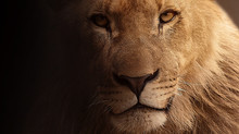 Day 36... Heart of a Lion