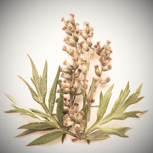 Mugwort-Essential-Oil-Artemisia-vulgaris-ProductPic_edited.jpg