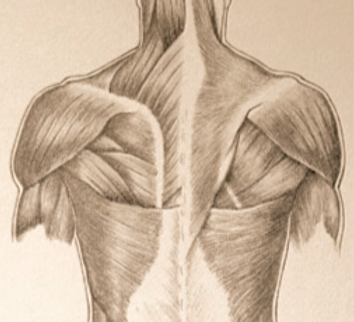 Muscles-in-Human-Body-31-2-by-Drawing-Ac