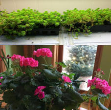 Meanwhile, in Judy's basement: The sedums (top) are from pots down town and will be replanted in the spring. And the geraniums are cuttings from a cemetery and will go back in the spring.