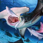NWBSC-Great-Hammerhead-Safari.JPG