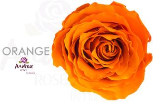 ORANGE-ANDREA-ROSES.jpg