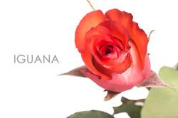 IGUANA-CAPTION-UNIDAD