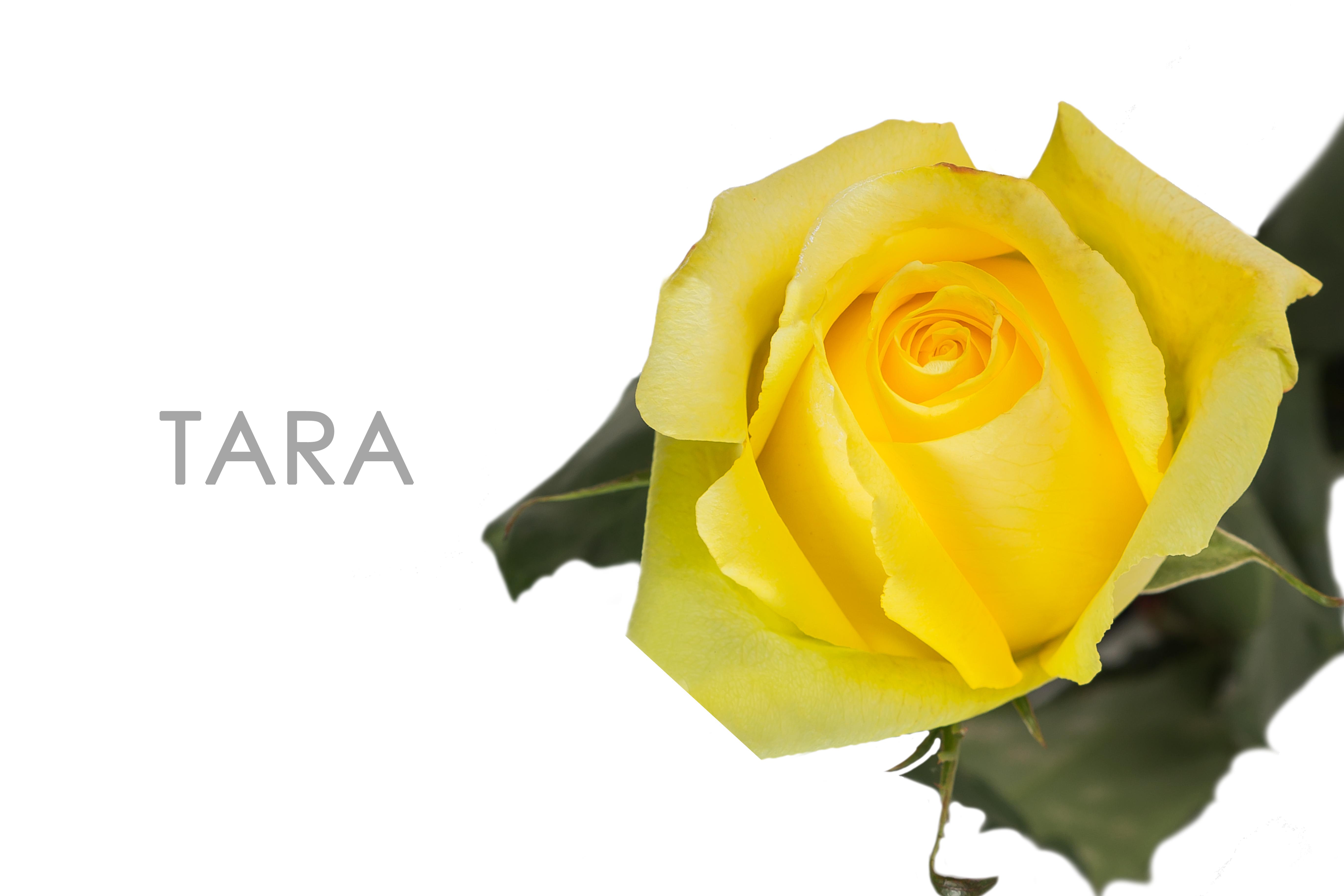 TARA-YELLOW-UNIDAD